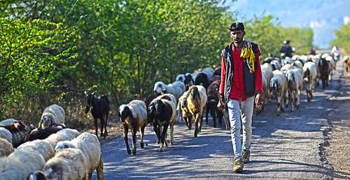 Herder Rajasthan DSC_0621
