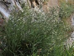 western stream aster, Symphyotrichum lanceolatum var. hesperium