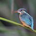 Common Kingfisher (Alcedo atthis) 普通翠鸟