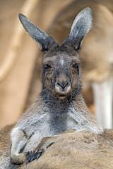 Kangaroo posing on another one