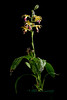 Photo:[Kunigami-son Okinawa, Japan, 沖縄県国頭村] Phaius tankervilleae (Banks) Blume, Mus. Bot. 2: 177 (1856) By sunoochi