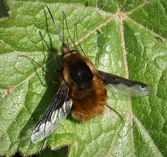 Beefly. Bombylius major