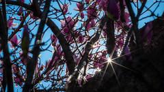 Sunstars and Magnolias