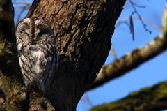 Tawny owl, brown owl, Strix aluco, Kattuggla