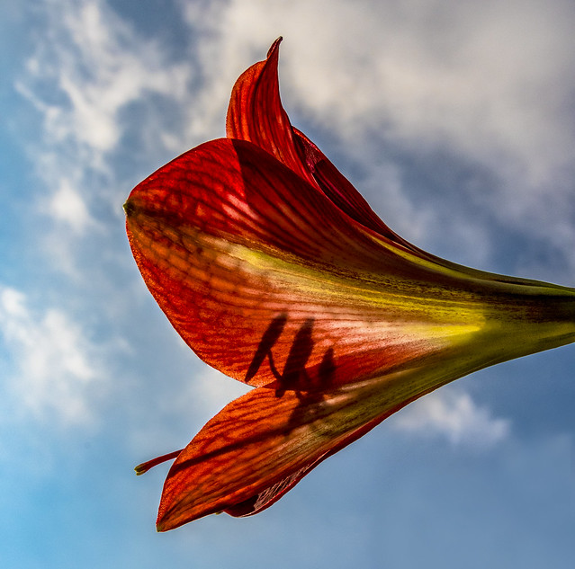 Amaryllis from a different perspective