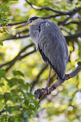 Heron perched on a treeq