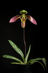 [Indo-China] Paphiopedilum appletonianum (Gower) Rolfe, Orchid Rev. 4: 364 (1896)