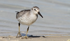 Red Knot- Sunwest Park