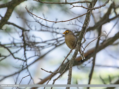 Spectacled Finch (Callacanthis burtoni)