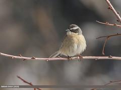 Brown Accentor (Prunella fulvescens)