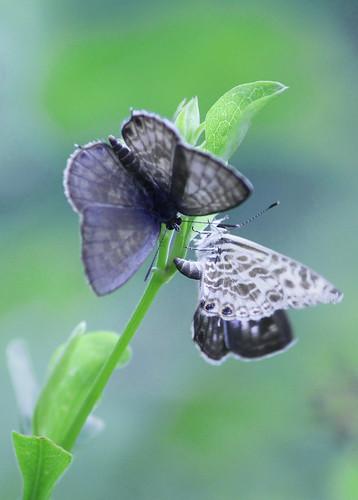 Zebra Blue Butterfly 003