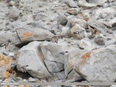 Northern Pintail (Anas acuta), Common Teal (Anas crecca) & Gadwall (Anas strepera)