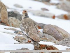 Tibetan Snowcock (Tetraogallus tibetanus)
