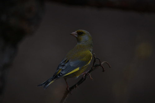 Greenfinch watching over the ladies