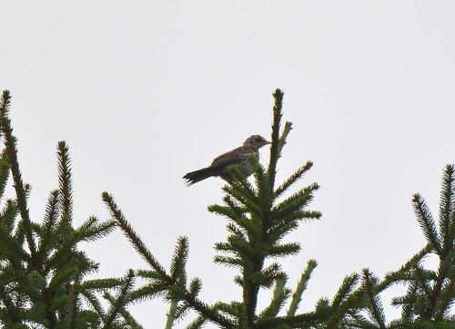 Turdus pilaris (Fieldfare / Kramsvogel)