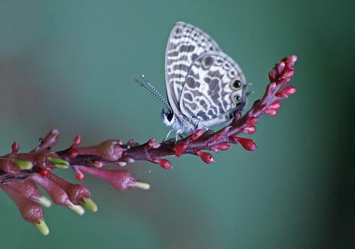 Zebra Blue Butterfly 008