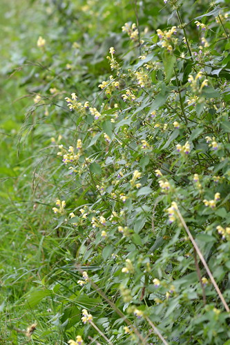 Galeopsis speciosa (Large-flowered hemp-nettle / Dauwnetel)