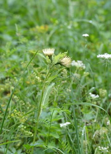 Cirsium oleraceum (Siberian cabbage thistle / Moesdistel)