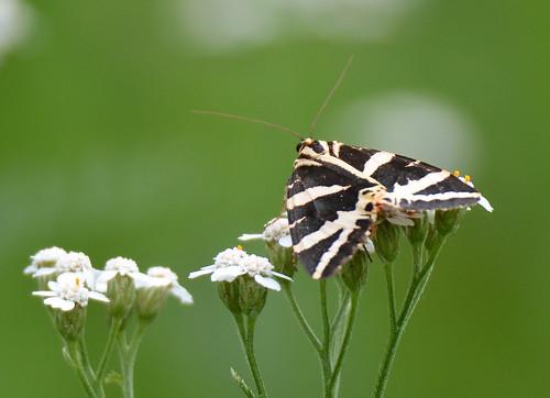 Euplagia quadripunctaria (Jersey tiger / Spaanse vlag)