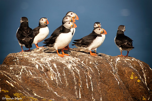 Papagaio do Mar (Fratercula arctica) | Puffin