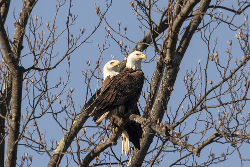 Two Bald Eagles in Love