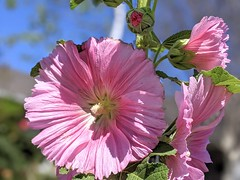 Rhonda's Hollyhocks are blooming!