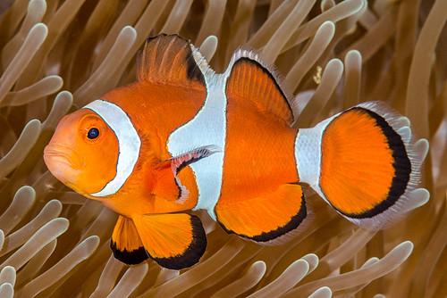 False Clown Anemonefish - Amphiprion ocellaris