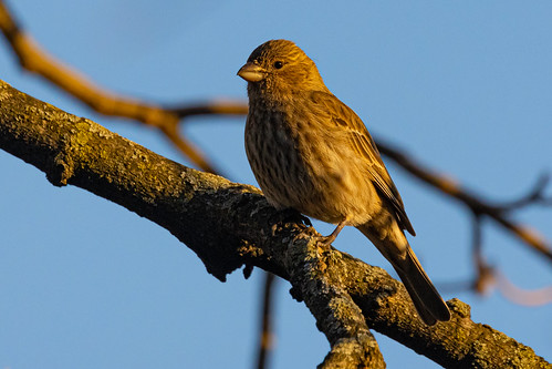 Sparrow in the late afternoon Sunlight