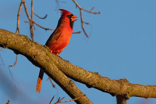 Cardinal singing a song