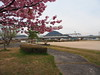 Photo:Pink cherry blossoms (桜), Shinkansen, and Mikamiyama By Greg Peterson in Japan