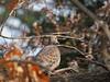 Photo:Oriental turtle-dove (Streptopelia orientalis, キジバト) By Greg Peterson in Japan