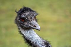 ein Emu ...