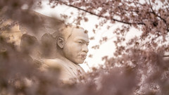 Dr. King Surrounded by Cherry Blossoms