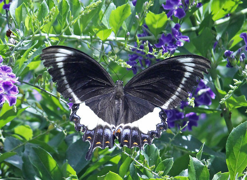 Orchard Swallowtail Butterfly 004