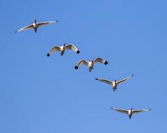 5 White Ibis Inflight