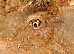 Jumping Spider - Colonus sylvanus, Meadowood SRMA, Mason Neck, Virginia