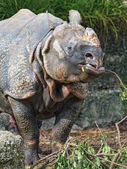 Rhino eating a branch I
