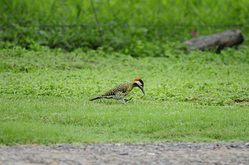 Pica-pau-verde-barrado (Colaptes Melanochloros)