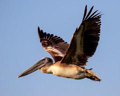 Banded Brown Pelican Inflight (AL6)