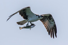 Osprey Inflight with a Trout