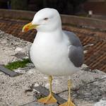 Yellow-legged Gull (Larus michahellis) - https://www.flickr.com/people/149915878@N06/