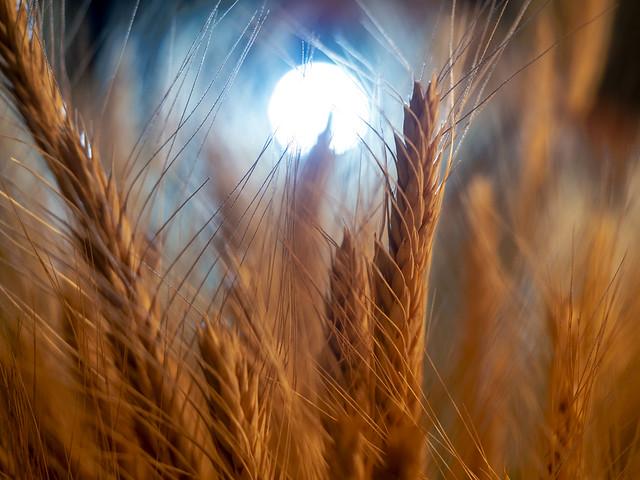Les blés sont murs