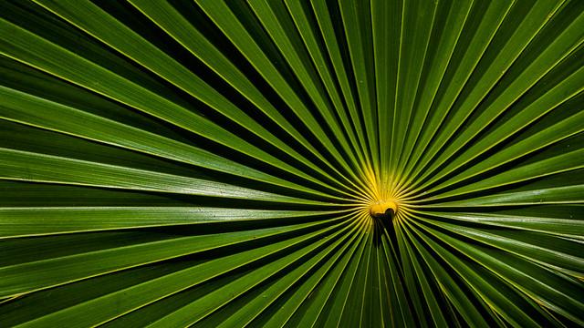 Feuille de palmier éventail