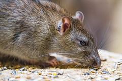 Close rat