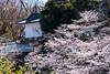 Photo:Sakura By t.kunikuni