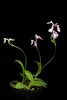 Photo:[Yakushima Island, Kagoshima, Japan / 鹿児島県屋久島] Ponerorchis lepida 'Yakushima' (Rchb.f.) X.H.Jin, Schuit. & W.T.Jin, Molec. Phylogen. Evol. 77: 51 (2014) By sunoochi