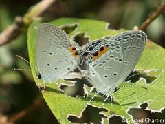 Everes lacturnus lacturnus (Indian Cupid)