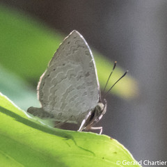 Miletus chinensis learchus (Common Brownie)