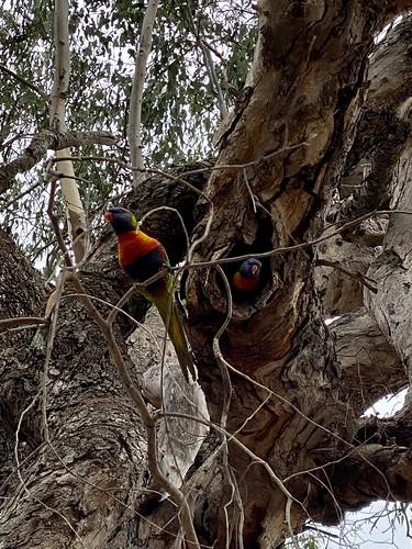 Baby lorikeet in a rotting tree
