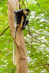 Tall Tail, Black Colobus